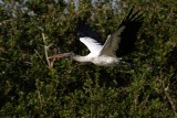 Wood stork soaring past the trees