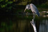 Great blue heron perched over the water