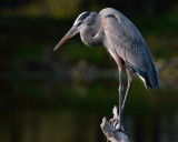 Great blue heron closeup on a perch
