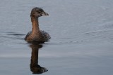 Pied-billed grebe heading this way