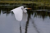 Great egret soaring by low