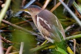 Least bittern down in the reeds