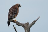 Red-shouldered hawk up on lookout
