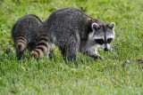 Pair of young raccoons walking the levee