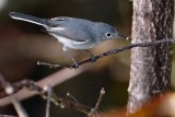 Blue-grey gnatcatcher with a meal