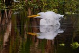 Great egret taking a cooling bath
