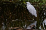 Snowy egret standing in the calm waters