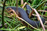 Water snake all curled up in the grass