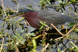 Green heron in the shallows