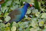 Purple gallinule looking around