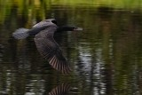 Cormorant flying low over the water