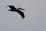 Pelican flying past