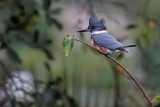 Female belted kingfisher on her shady overlook