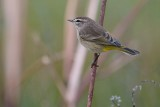 Palm warbler on a reed