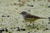 Palm warbler on the duckweed