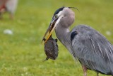 Great blue heron with a softshell turtle meal
