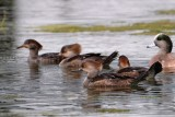 Hooded mergansers and a wigeon