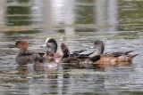 Hooded mergansers and American wigeons