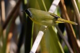 Male common yellowthroat down in the reeds