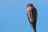 Red-shouldered hawk sitting quietly