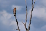 Red-shouldered hawk, still there in the distance!