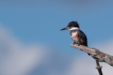 Female belted kingfisher on a snag, closer crop