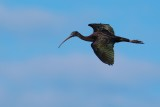 Glossy ibis flying past