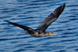 Cormorant flying by low