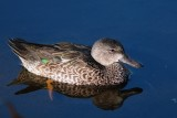 Blue-winged teal in the sun