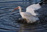Ibis having a bath