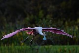 Roseate spoonbill approaching against the sun