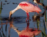 Roseate spoonbill found something