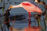 Roseate spoonbill - crawdad must be in there!