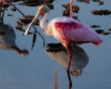 Roseate spoonbill in the last of the sun