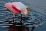 Roseate spoonbill feeding as dusk comes on
