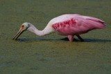 Roseate spoonbill in the duckweed