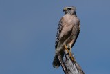 Red-shouldered hawk on lookout