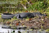 Alligator getting some sun