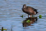 Young male blue-winged teal