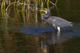 Tricolor heron tossing a fish