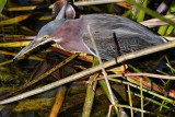 Green heron with a water bug