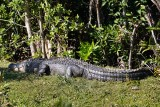George the alligator, sunning