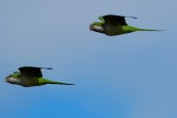 Monk parakeets in flight