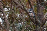 Female belted kingfisher in a tree