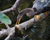 Anhinga trying to dislodge the fish