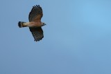 Red-shouldered hawk flying high