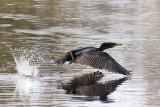 Cormorant water takeoff