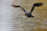 Double-crested cormorant approaching low