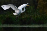 Great egret coming in to land