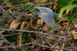 Tricolor heron passing the trees